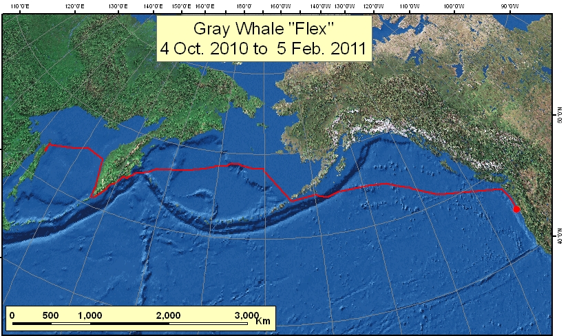 Gray Whale Flex Migration During Period 10-04-2010 - 02-05-2011