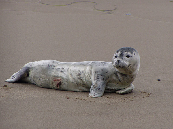 Newborn Harbor Seal Pup