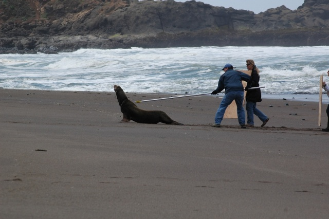 Snaring engangled sea lion