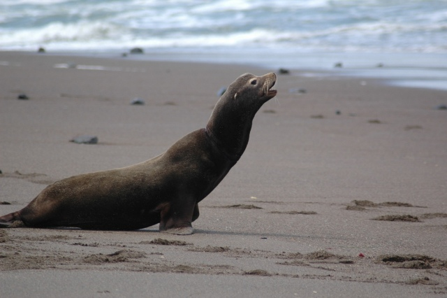 Sea lion with packing band removed from neck