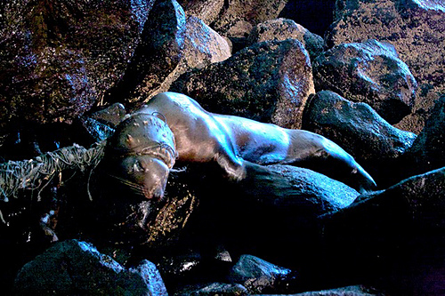 Stranded sea lion laying on rocks