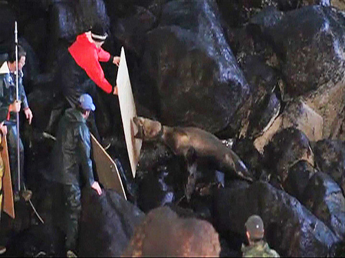 Rescuers setting up to free sea lion