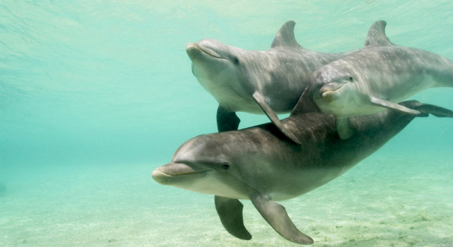 A dolphin cow and her calves smiling at the camera