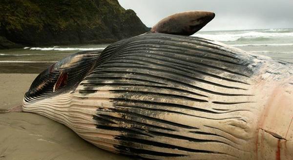 Sample OMMSN Stranded Whale