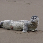 Newborn Harbor Seal Pup Laying On Beach