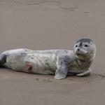 Newborn Harbor Seal Pup