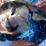 Sea turtle being disentangled from abandoned fishing gear at the Costa Rica Dome