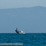 Humpback whale breaches in the Santa Barbara Channel off southern California