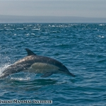 Common dolphins in the Santa Barbara Channel off southern California