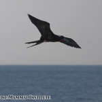 Magnificent frigate bird at the Costa Rica Dome