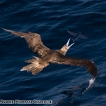 Red-footed booby catches up with flying fish at the Costa Rica Dome