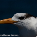 Royal tern at the Costa Rica Dome