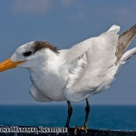 Royal tern rests on the Research Vessel Pacific Storm at the Costa Rica Dome