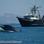 Blue whale diving near the R/V Pacific Storm in the Santa Barbara Channel, California