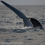 Blue whale showing its flukes at the Costa Rica Dome