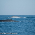 Two blue whales passing each other in the Santa Barbara Channel