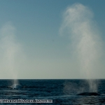 Blue whales showing their tall blows in the Santa Barbara Channel