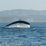 Blue whale diving in the Santa Barbara Channel