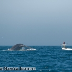 Blue whale diving in the Santa Barbara Channel in front of Erin Oleson and John Calambokidis