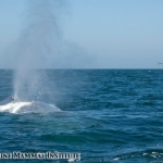 Blue whale surfaces near the Research Vessel Pacific Storm in the Santa Barbara Channel, California.