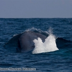 Blue whale surfaces with blow at the Costa Rica Dome