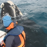 Curious southern right whale - Auckland Islands 2007
