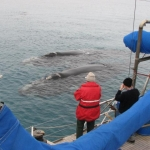 Southern right whales (Eubalaena australis) swimming at side of ship - Auckland Islands 2007