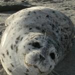 Adult Harbor Seal