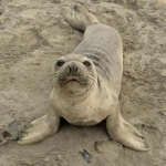 Northern Elephant Seal Weaner