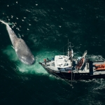 Pacific Storm with dead blue whale