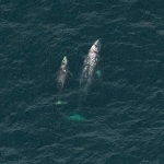 Aerial Shot of Two Whales Swimming Side by Side