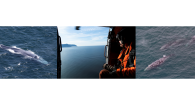 Conducting whale surveys from USCG helicopters to document whale distribution patterns off the Oregon coast. Blue whale and gray whale images captured under NOAA permit # 21678