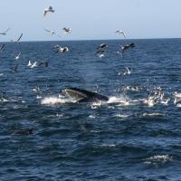 Brydes Whales Prey and Vessel Distribution - Hauraki Gulf, New Zealand