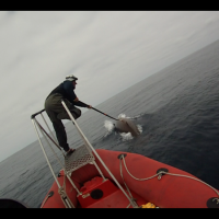 Deploying Multisensor Acoustic Tag On Cuviers Beaked Whale