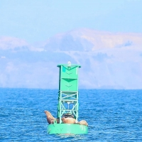 California Sea Lions on Oregon Buoy