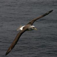 Albatross Flying Over Water