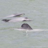 Individual Based Fine Scale Analysis of Mauis Dolphin Habitat Use