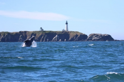 Gray whale breaches in the front of the Yaquina Lighthouse, Newport, OR, US