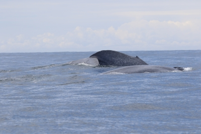 Blue Whales in New Zealand