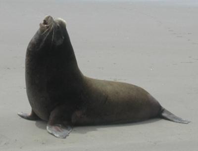 Sea lion on beach, barking