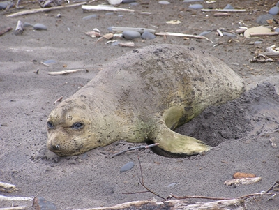 Molting juvenile elephant seal