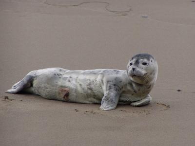 Newborn Harbor Seal Pup Laying On Beach