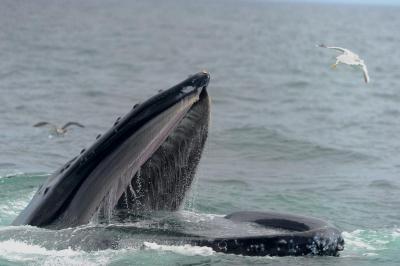 Humpback Whale Bubble Net Feeding Stellwagen Bay