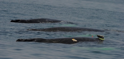 Humpback Whale Outfitted With DTag and Crittercam SBNMS