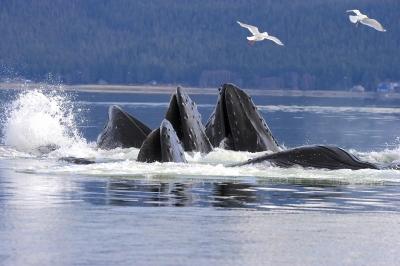 Humpback Whale Bubble Net Feeding on Herring Sitka Alaska