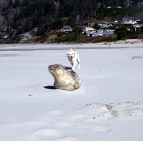 Dog running after seal