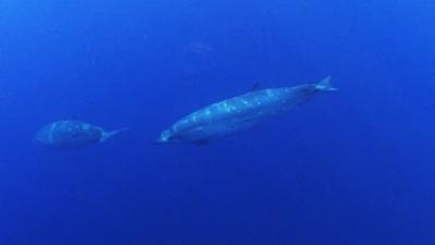 Unidentified Mesoplodon whale underwater