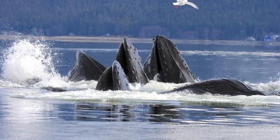 Humpback Whale Bubble Net Feeding on Herring Sitka Alaska