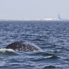 Flex the Russian Whale Surfacing