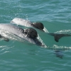Dolphin pair swimming